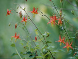 Crimson Columbines Above the Columbia River Gorge Photographic Print by Phil Schermeister