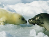 A Newborn Gray Seal Pup Bonds with its Mother Stampa fotografica di Norbert Rosing