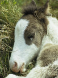 Portrait of a Wild Pony Foal Sleeping Photographic Print by James L. Stanfield