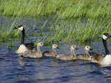 Canada Geese with Young Photographie par Phil Schermeister