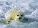A Gray Seal Pup Stares Directly at the Camera Photographic Print by Norbert Rosing