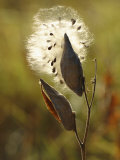Close View of a Milkweed Pod Gone to Seed Photographic Print by Phil Schermeister