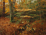 Holly and Beech Trees Along a Woodland Trail Photographic Print by Raymond Gehman