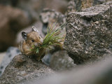Carrying a Mouthful of Grass, a Pika Balances on a Rock Photographic Print by Michael S. Quinton