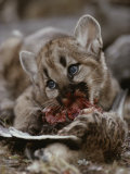 Mountain Lion Cub Feeds on a Mallard Duck Photographic Print by Jim And Jamie Dutcher