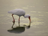 A White Ibis Sticks His Beak in the Water Looking for a Meal Photographic Print by Nicole Duplaix