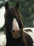 Portrait of a Wild Assateague Pony Photographic Print by James L. Stanfield