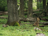 A Fox Sits in a Green Woodland Photographic Print by Bill Hatcher