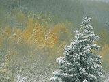 Aspen Trees Get a Dusting of Snow from an Autumn Storm Lámina fotográfica por Chesley, Paul