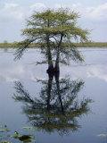 Bates Littlehales - Cypress Tree Reflecting in the Water Fotografická reprodukce