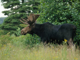 A Large Bull Moose in Tall Grass on the Edge of a Forest Photographic Print by Phil Schermeister