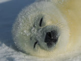 Resting Gray Seal Pup Photographie par Norbert Rosing