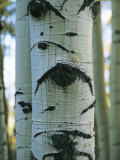 Detail of a Tree Trunk with Face-Like Features Photographic Print by Bill Curtsinger