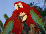 Pair of Captive Red-And-Green Macaws at Busch Gardens Photographic Print by Richard Nowitz