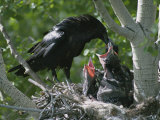 An Adult Raven Feeds a Group of Hungry Chicks Photographie par Michael S. Quinton