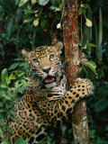 A Jaguar Sharpens it Claws on a Tree Trunk Photographic Print by Steve Winter