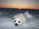 A Juvenile Gray Seal Pup Rests as the Sun Begins to Rise over the Snowy Landscape Photographie par Norbert Rosing
