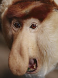 A Rare Leaf-Eating Proboscis Monkey Photographic Print by Michael Nichols