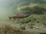 A Chinook Salmon Fish, Also Known as King Salmon, Swims Upstream to Spawn Fotoprint van Michael S. Quinton