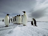 A Group of Emperor Penguins Strolling in the Snow Photographic Print by Bill Curtsinger