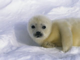A Sleepy-Eyed Gray Seal Pup Stares Directly at the Camera Photographic Print by Norbert Rosing