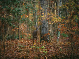 A White-Tailed Deer in an Upland Hardwood Forest Photographic Print by Raymond Gehman