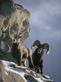 A Pair of American Bighorn Sheep on a Ledge Fotografiskt tryck av Michael S. Quinton