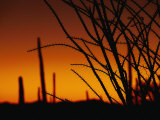 A Flaming Orange Sky Silhouettes Ocotillo and Saguaro Cacti Photographic Print by Bill Hatcher