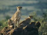 Two African Cheetahs Perched on a Rock Photographic Print by Michael S. Lewis