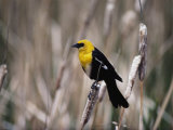 View of a Yellow-Headed Blackbird Perched on Top of a Cattail Photographic Print by Bates Littlehales