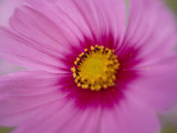 A Close-up of a Pink Wildflower Photographic Print by Todd Gipstein