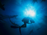 Sunlight Silhouetting a Diver Swimming About with a Group of Sharks Photographic Print by Nick Caloyianis