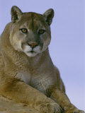 Portrait of a Mountain Lion Photographic Print by Norbert Rosing
