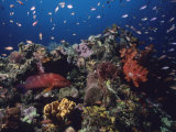 A Vibrant Reef Scene with Varieties of Coral, Fishes, and a Coral Cod Photographic Print by Tim Laman