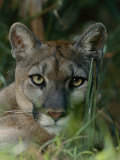 Florida Panther Impresso fotogrfica por Michael Nichols