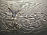 A Laughing Gull Fishes in Florida Bay Photographie par Nicole Duplaix