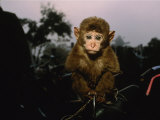 A Young Pet Monkey Sits for His Portrait Photographic Print by Steve Winter