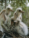 Juvenile Blue Herons in Their Nest Photographic Print by Sam Abell