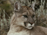 Portrait of a Mountain Lion Photographic Print by Jim And Jamie Dutcher