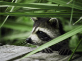 A Raccoon Peers over the Side of a Wooden Dock Reprodukcja zdjęcia autor Nicole Duplaix