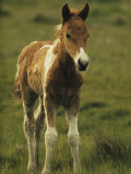 Portrait of a Young Wild Pony Foal Photographic Print by James L. Stanfield