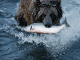 A Grizzly Bear Carries its Freshly Caught Salmon to Shore Photographic Print by Joel Sartore