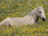 A domestic horse rests in a meadow of little yellow and white flowers Fotografie-Druck von Annie Griffiths Belt