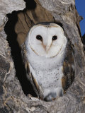 A Barn Owl in its Roost in a Hollow Tree Photographic Print by Jason Edwards