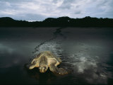 Pacific Ridley Turtle Laying Eggs in a Hole She Dug in the Sand Photographic Print by Steve Winter