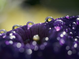 A Close-up of Water Droplets on a Purple Flower Photographic Print by Todd Gipstein