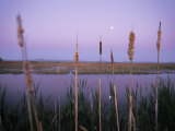 Cattails Photographic Print by Phil Schermeister