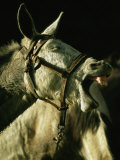 A Bridled Pack Mule Yawning Photographie par Gordon Wiltsie