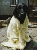 A Dog That Has Just Had a Bath Photographic Print by Bill Curtsinger
