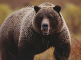 A Large Adult Grizzly Bear Faces the Camera Photographic Print by Joel Sartore